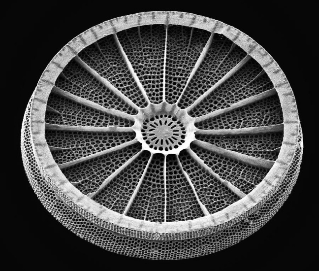 Diatom with beautiful symmetry