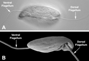 cell with 2 flagella pointing in opposite directions
